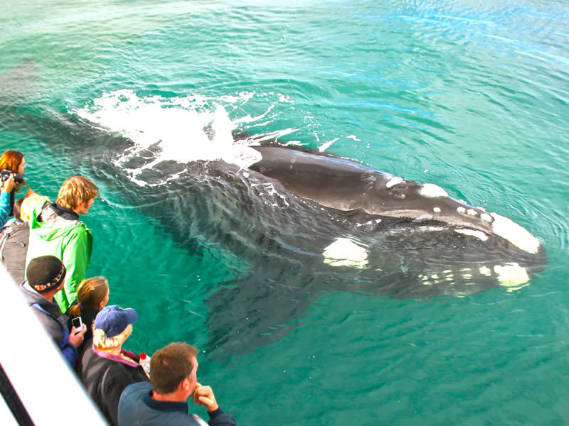 Whale watching in Chile